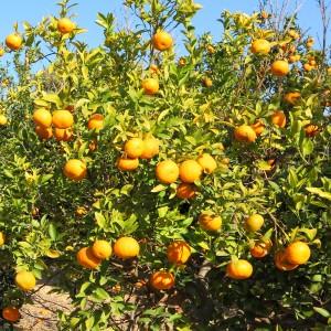 ビターオレンジ1