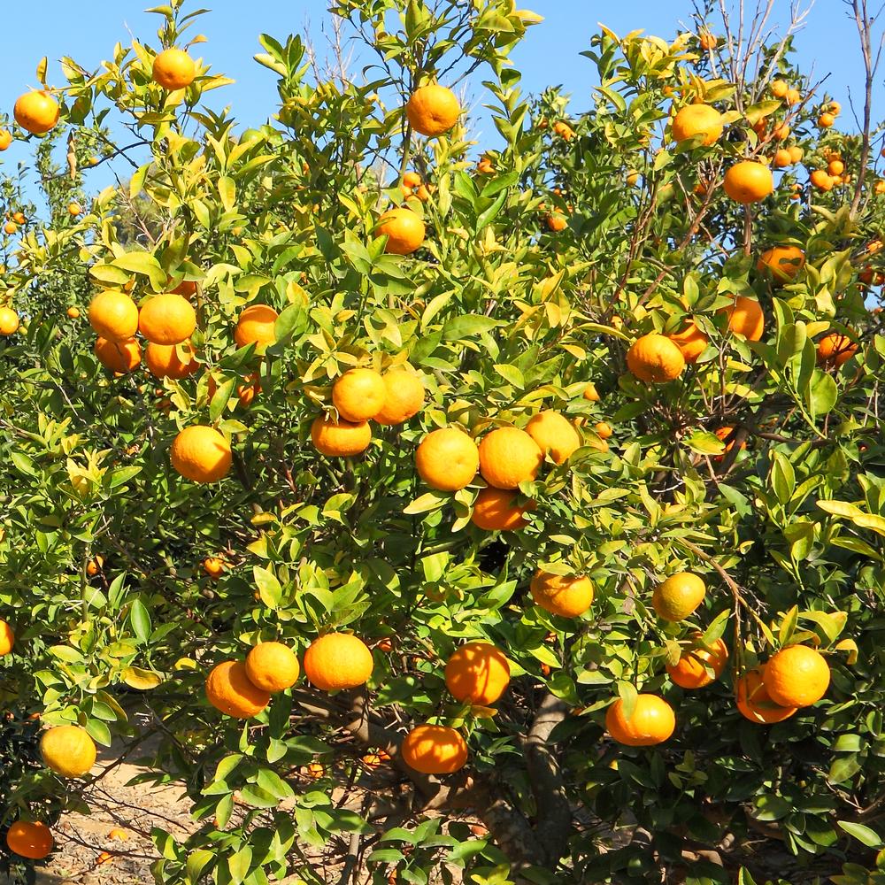 ビター オレンジ